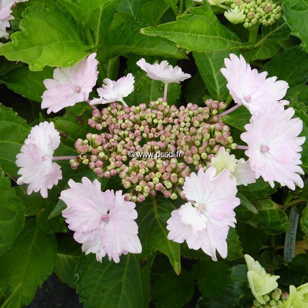 Hydrangea macrophylla \'Koria\' ® 20/40 C4L