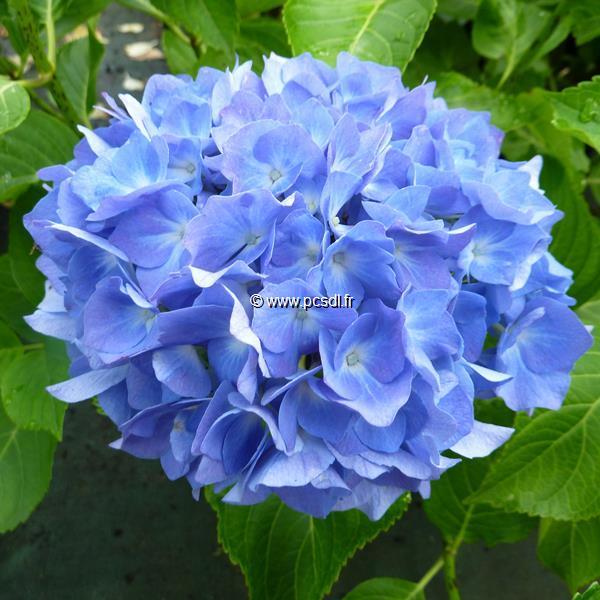 Hydrangea macrophylla \'Renate Steiniger\' C4L 20/40
