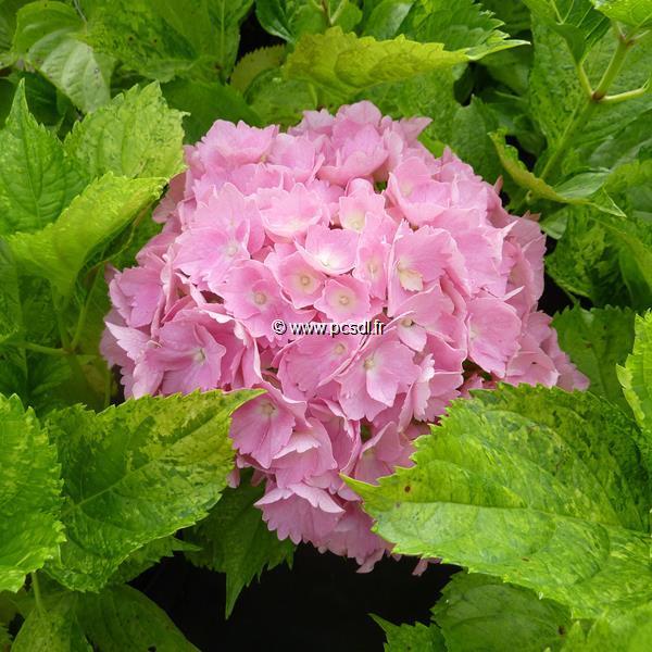 Hydrangea macrophylla \'Voie Lactée\' C4L 20/40