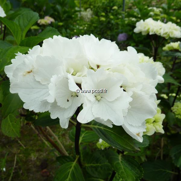 Hydrangea macrophylla \'Zebra\' ® C4L 20/40