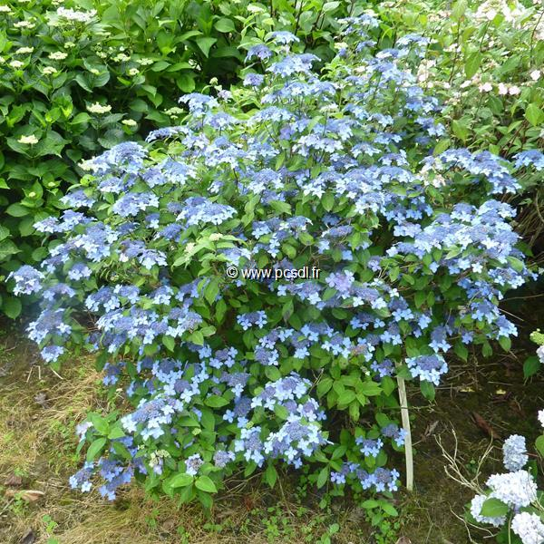 Hydrangea serrata \'Kurohime\' C4L 20/40