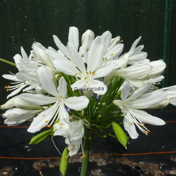 Agapanthus \'Artic Star\' C3L
