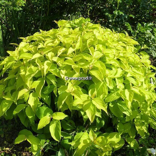 Cornus sericea \'Kelsey\'s Gold\' C4L 30/40