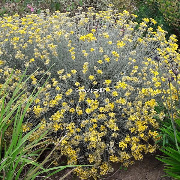 Helichrysum italicum ssp. serotinum C3L 30/40