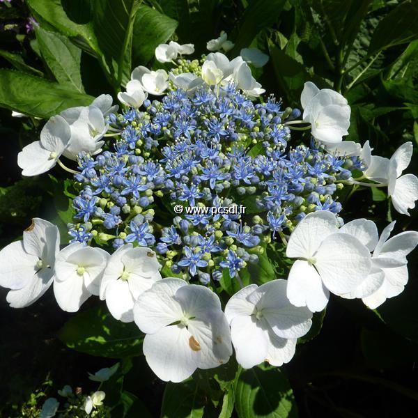 Hydrangea macrophylla \'Blanc Bleu\' ® C4L 20/40
