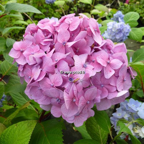 Hydrangea macrophylla (endless summer) \'Bloomstar\' ® C4L 20/40