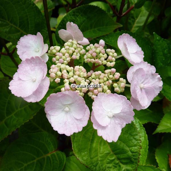Hydrangea macrophylla \'Camino\' ® C4L 20/40