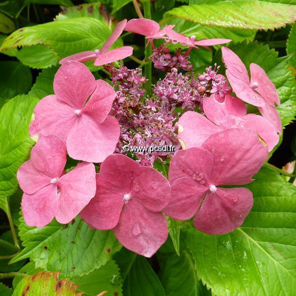 Hydrangea macrophylla \'Dolce Fragola\' ® 20/40 C4L
