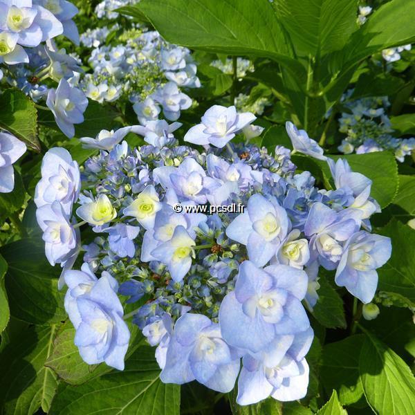 Hydrangea macrophylla (you&me) \'Emotion\' ® C4L 20/40