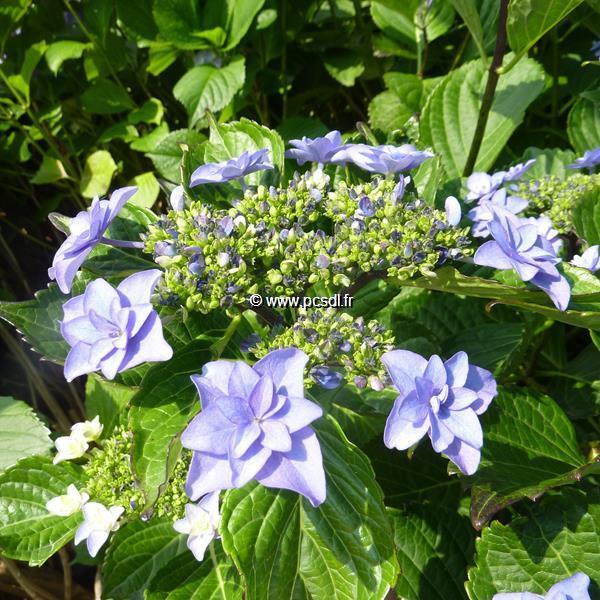 Hydrangea macrophylla \'Étoile Violette\' C4L 20/40