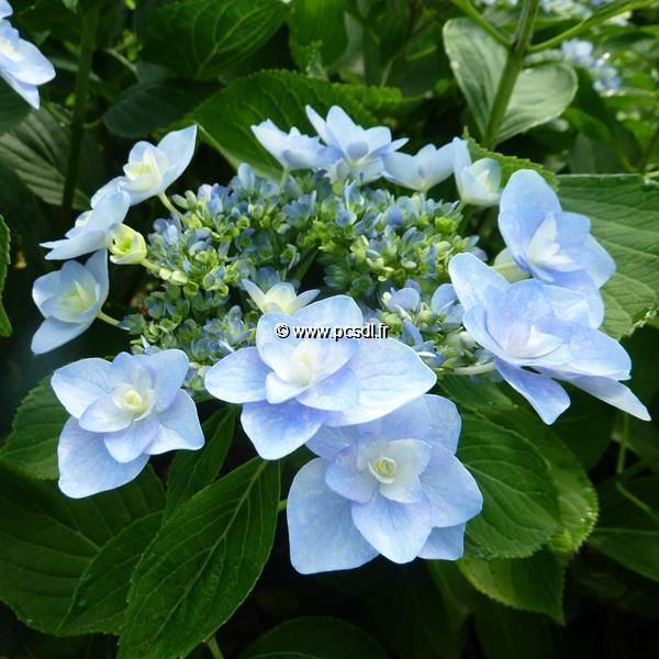 Hydrangea macrophylla (you&me) \'Forever\' ® C4L 20/40