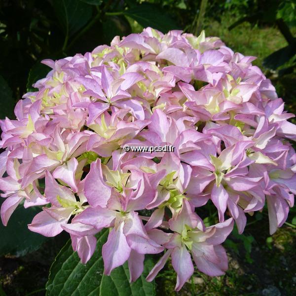 Hydrangea macrophylla \'Inspire\' ® 20/40 C4L