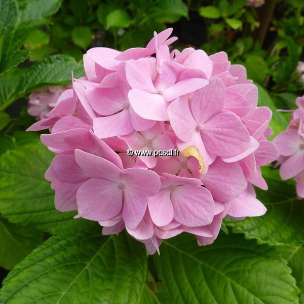 Hydrangea macrophylla \'La France\' 20/40 C4L