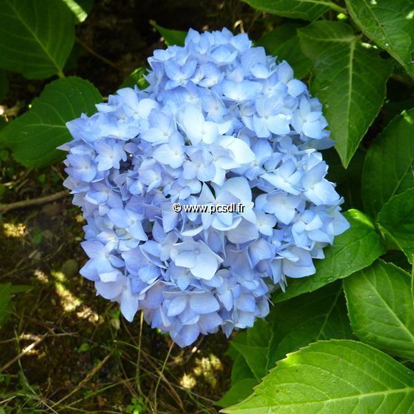 Hydrangea macrophylla \'Nikko Blue\' 20/40 C4L