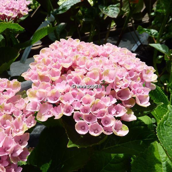 Hydrangea macrophylla \'Revolution\' C4L 20/40