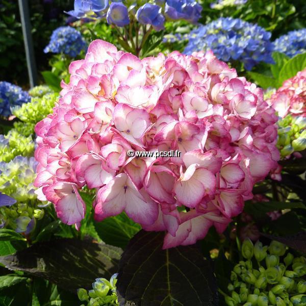 Hydrangea macrophylla (Hovaria) \'Ripple\' ® C4L 20/40