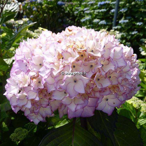 Hydrangea macrophylla \'Salsa\' ® 20/40 C4L