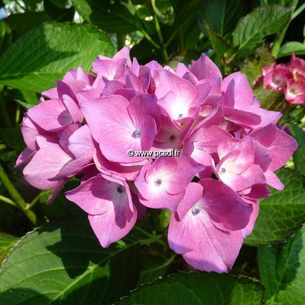 Hydrangea macrophylla (dutch lady) \'Saskia\' ® C4L 20/40