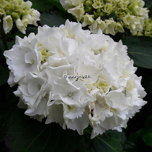 Hydrangea macrophylla \'Schneeball\' ® C4L 20/40