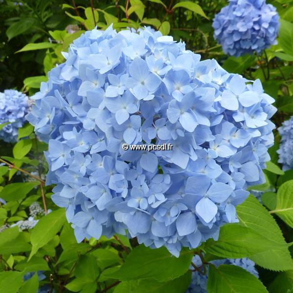 Hydrangea macrophylla \'Semperflorens\' C4L 20/40
