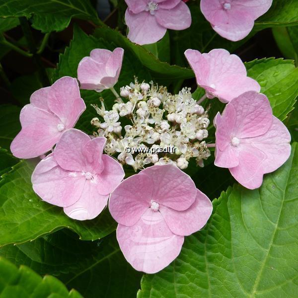 Hydrangea macrophylla \'Sheila\' ® C4L 20/40