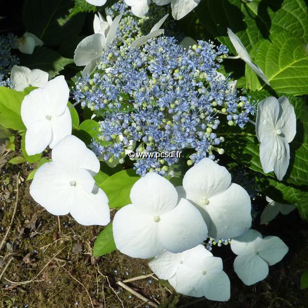 Hydrangea macrophylla \'Veitchii\' C4L 20/40