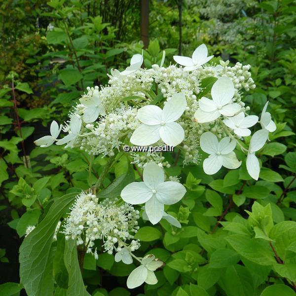 Hydrangea paniculata \'Praecox\' 40/50 C4L