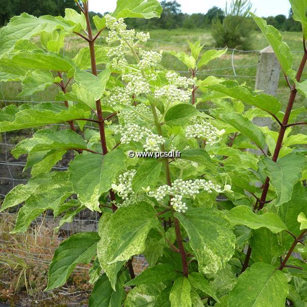 Hydrangea paniculata \'Shikoku Flash\' C4L 40/50