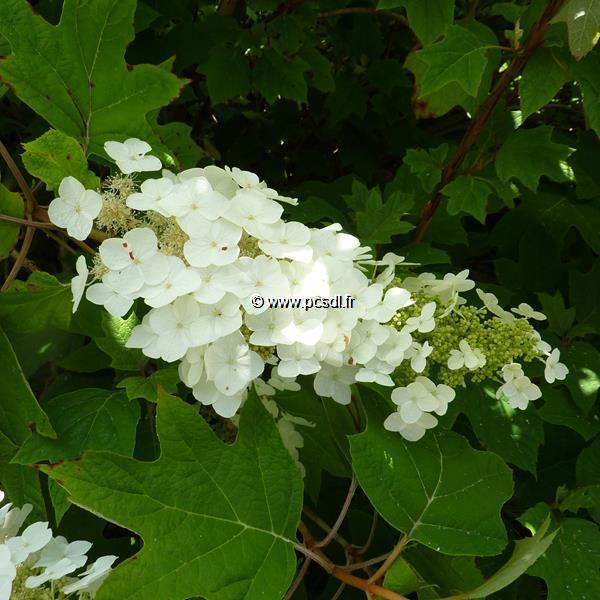 Hydrangea quercifolia \'Alice\'