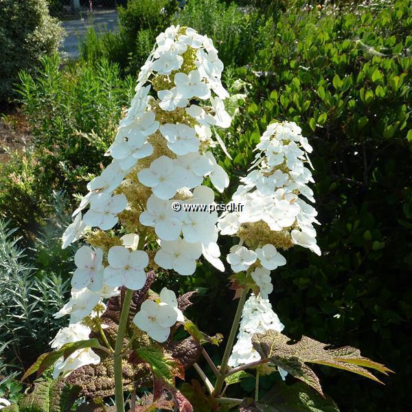 Hydrangea quercifolia \'Snowqueen\' ®