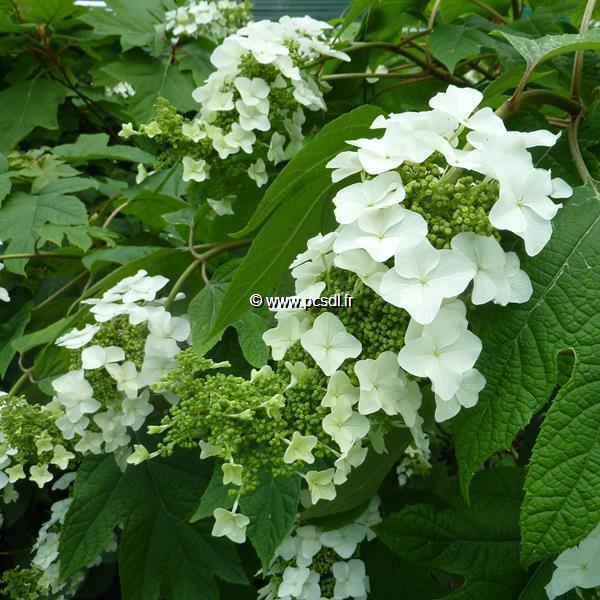 Hydrangea quercifolia \'Tennessee Clone\'