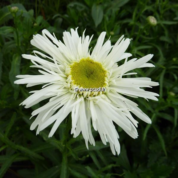 Leucanthemum x superbum \'Wirral Pride\' C3L