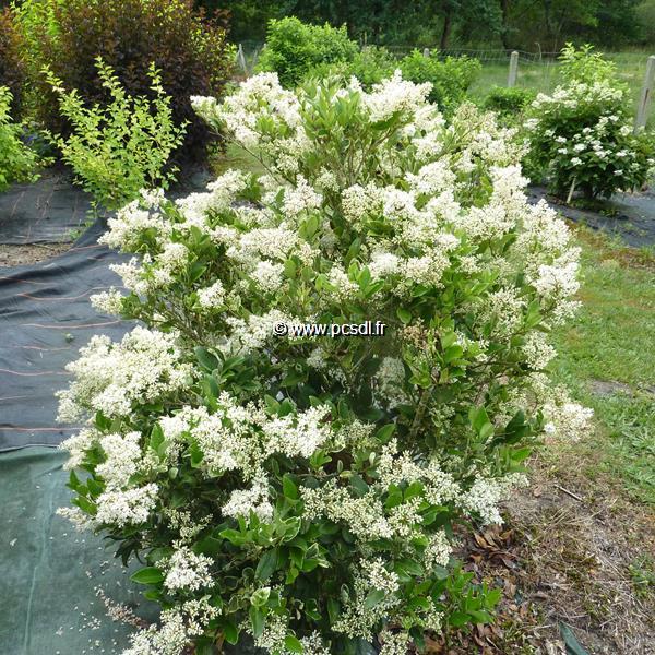 Ligustrum japonicum \'Texanum\' C15L 125/150