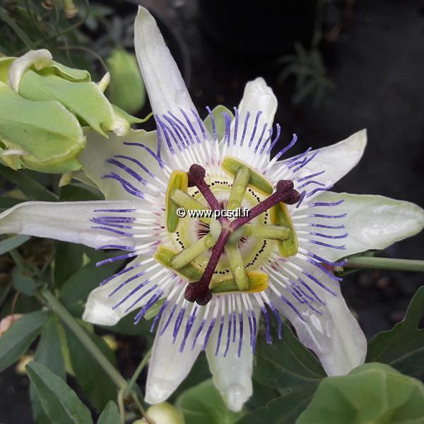 Passiflora caerulea C4L 40/60