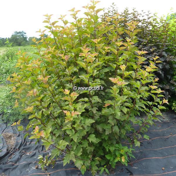 Physocarpus opulifolius \'Amber Jubilée\' ® 40/50 C4L