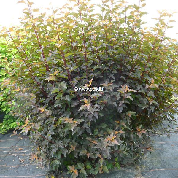 Physocarpus opulifolius \'Diable d\'Or\' ® C4L 40/50