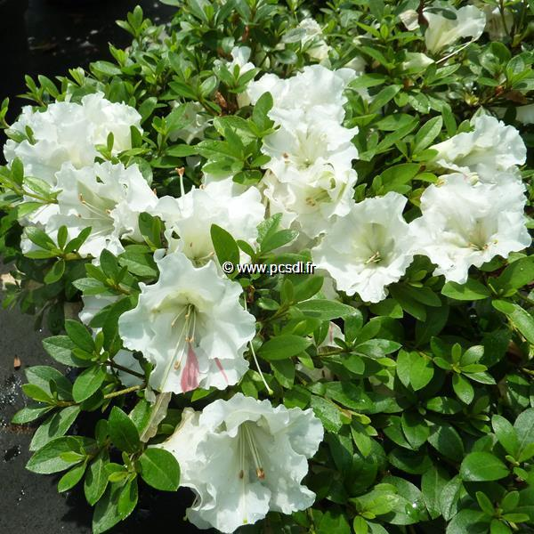 Rhododendron (azalée persistante) \'White Moon\' C7L 20/30