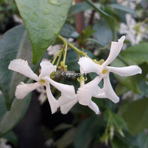 Trachelospermum jasminoides \'Wilsonii\' C4L 125/150