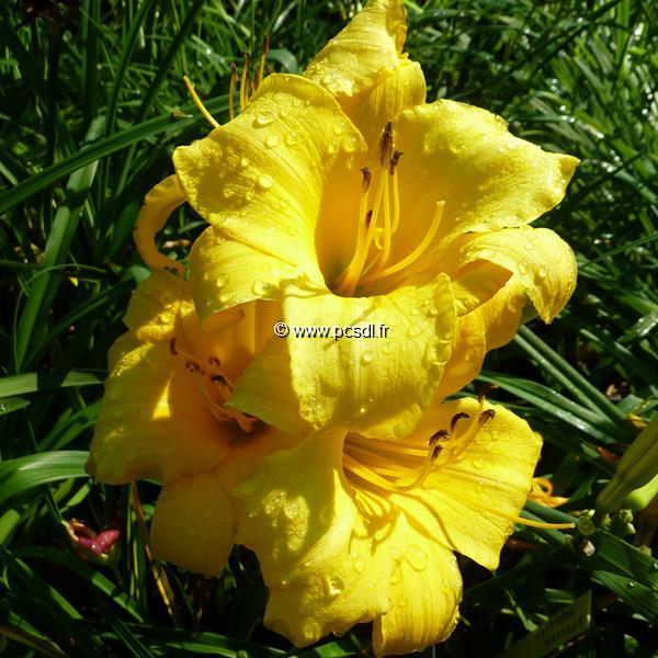 Hemerocallis \'Spanish Treasure\' C3L