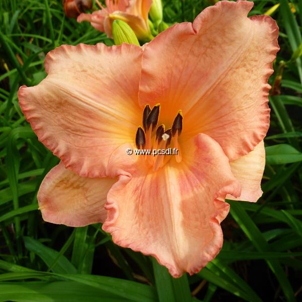 Hemerocallis \'Magic Kiss\' C3L