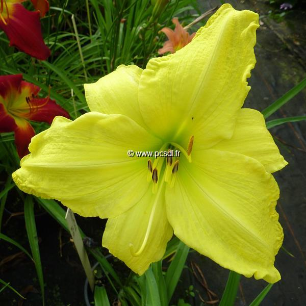 Hemerocallis \'Shooting Star\' C3L