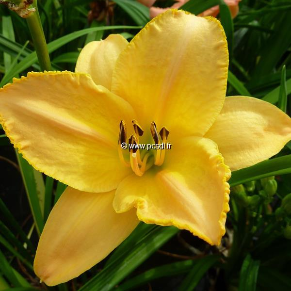 Hemerocallis \'Sombrero Way\' C3L