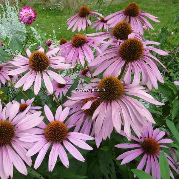 Echinacea \'Pink Parasol\' C3L