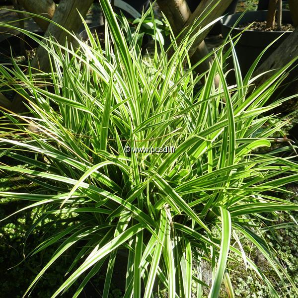 Carex morrowii \'Ice Dance\' C3L