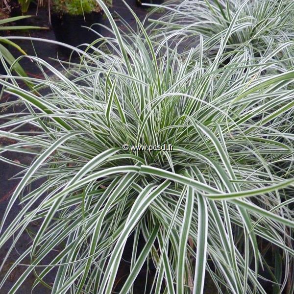 Carex oshimensis \'Albomarginata\' C3L