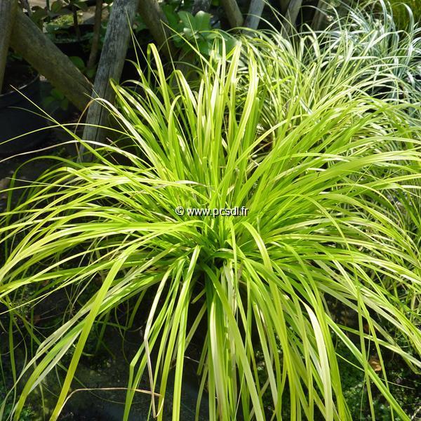 Carex oshimensis \'Aurea\' C3L
