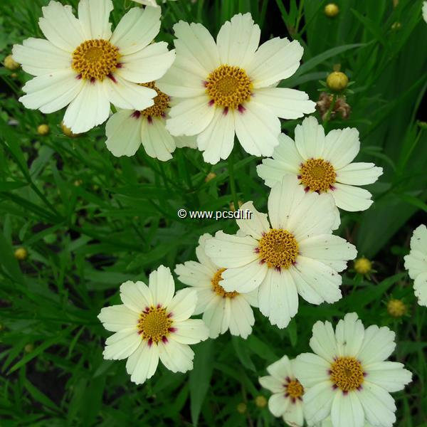 Coreopsis \'Star Cluster\' C3L
