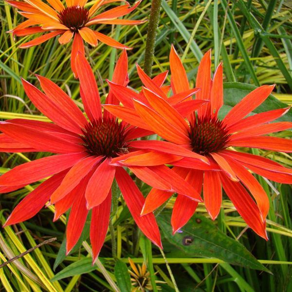 Echinacea \'Hot Summer\' C3L