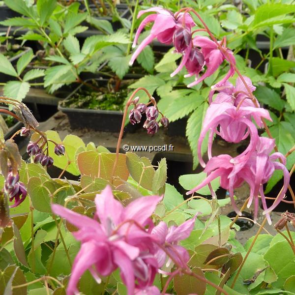 Epimedium grandiflorum \'Rose Queen\' C3L