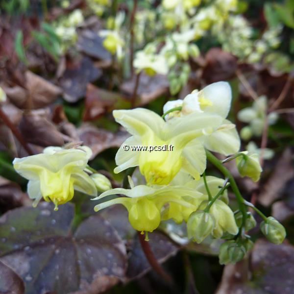Epimedium x versicolor \'Sulphureum\' C3L